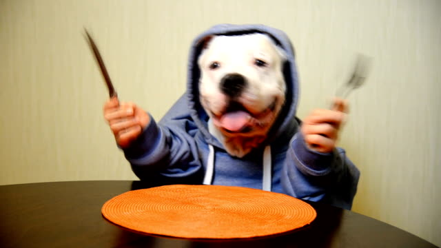 Staffordshire terrier eating with a knife and fork Staffordshire terrier eating with a knife and fork nutritionist stock videos & royalty-free footage
