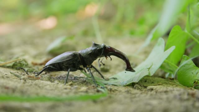Stag Beetle And Ants