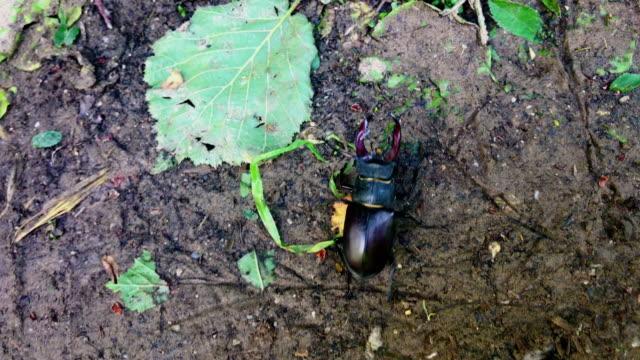 Stag Beetle Crawling on Footpath