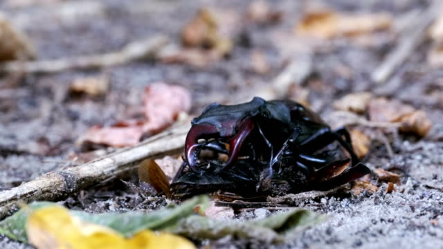Stag Beetle Deer Pushes a Crushed Dead Beetle along the Ground video