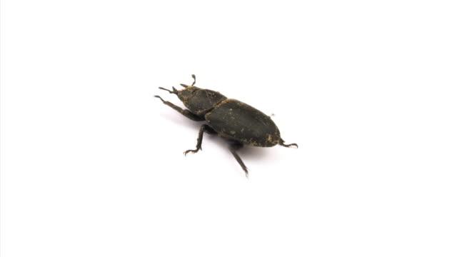 Stag beetle video