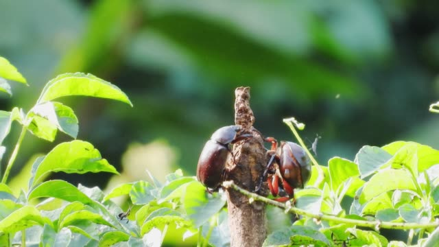 Stag beetles fighting for his own base.