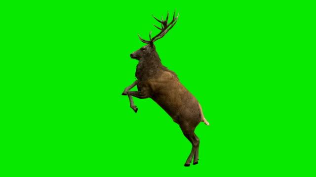 stockvideo's en b-roll-footage met hert curvet groen scherm (loopbare) - rendier