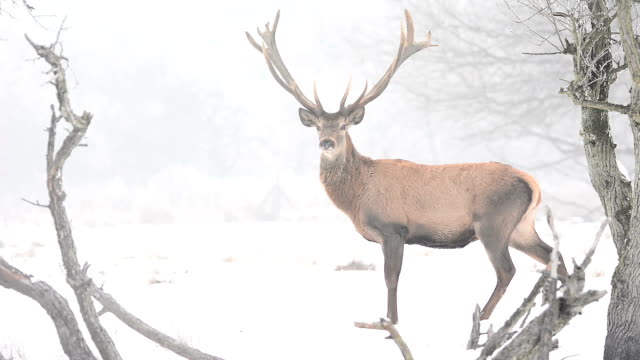stag during the winter season - reindeer stock videos and b-roll footage