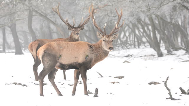 Stag during the winter season video