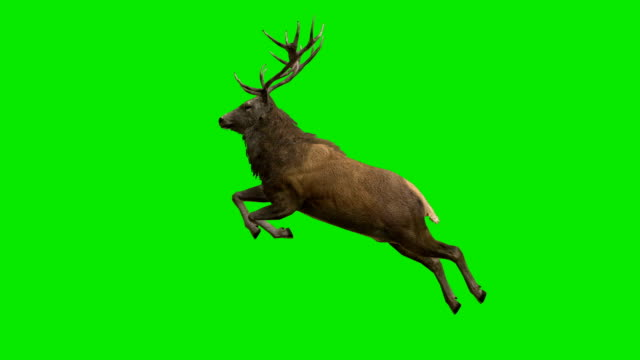 Stag Jumping Green Screen (Loopable) video