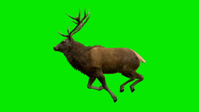 Stag Run Green Screen (Loopable) video