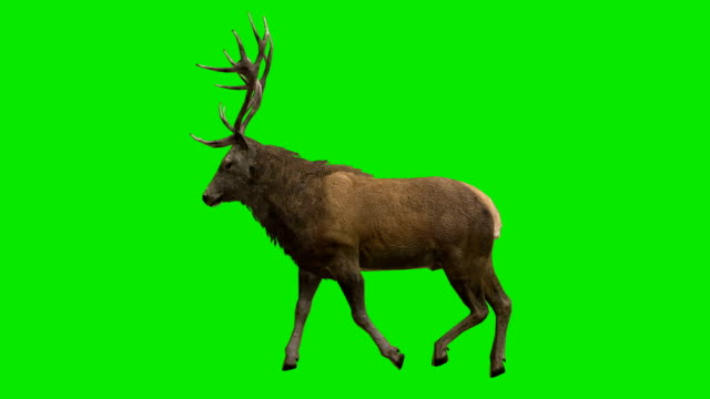 Stag Walk Green Screen (Loopable) video