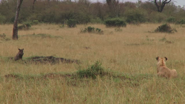 A stalemate between a lion and a warthog