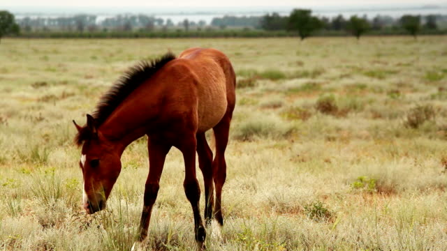 Stalion in the prairies of the Crimean Peninsula video