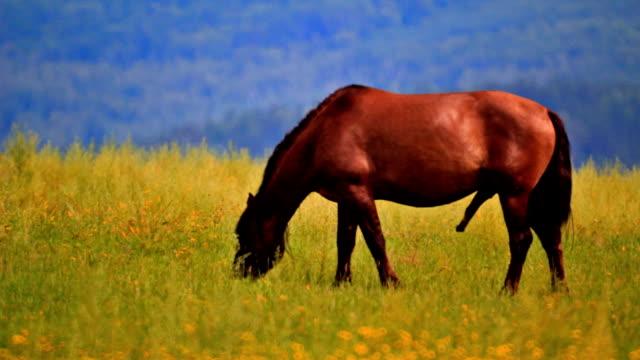 stallion grazing in the meadow - penis stok videoları ve detay görüntü çekimi