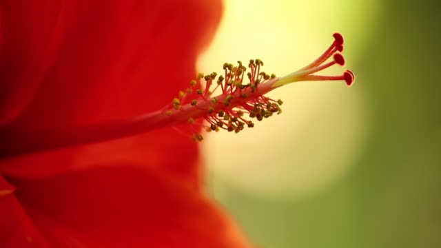 Stamen Hibiscus Rosa Sinensis Red Close Up Macro