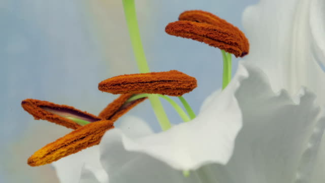 Stamen of a lily