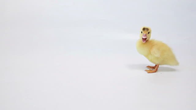 Standing Duckling on White Background