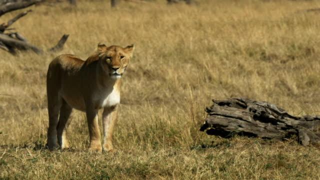 stockvideo's en b-roll-footage met staande leeuwin in masai mara national park, kenia - leeuwin