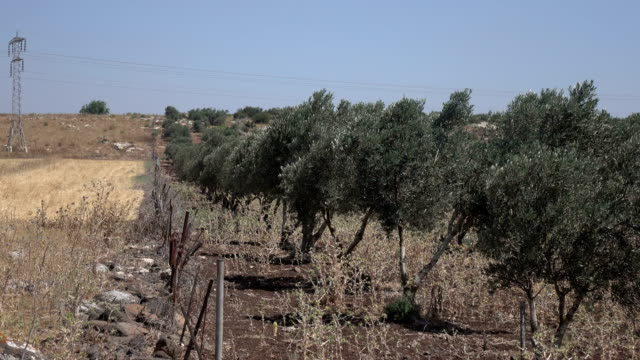 Standing on Edge of Olive Grove and Dry Field in Israel video