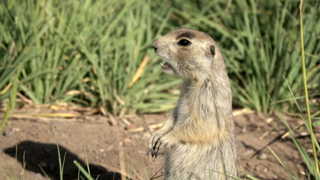 Standing white-tailed prairie dog barks Arapahoe National Wildlife Refuge Colorado summer video