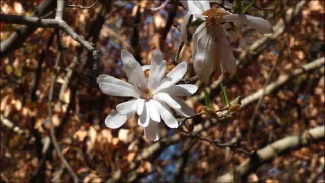 Star magnolia zoom in