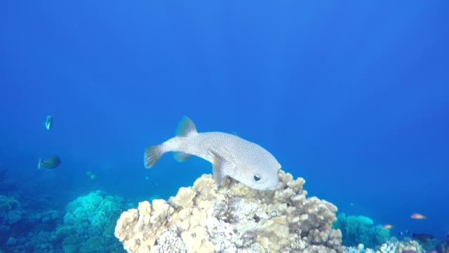 star puffer fish, off coast of safaga, egypt, red sea - immerse in the stars video stock e b–roll