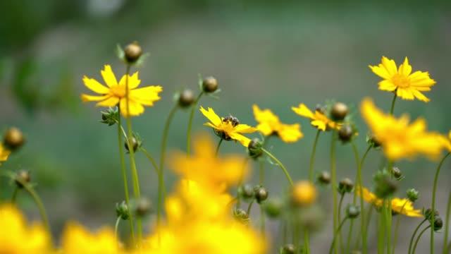 star tickseed yellow flower. - coreopsis lanceolata video stock e b–roll