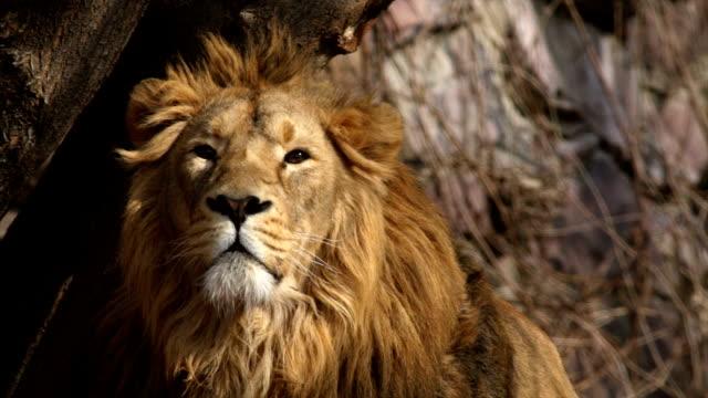 見つめ若いアジアのライオン、唇をなめるあくびをするとします。 ビデオ