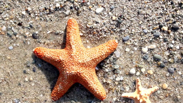 Starfish blown away by the waves video