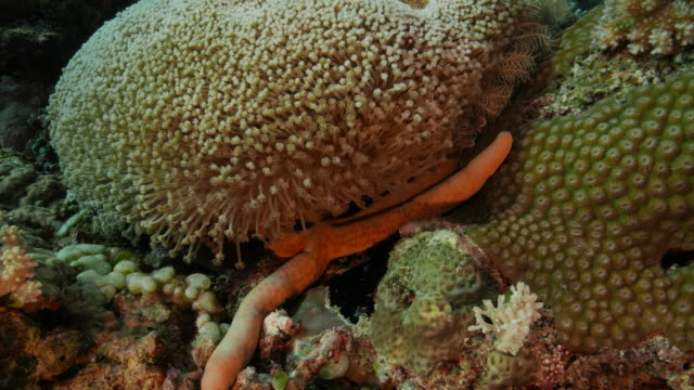 Starfish hiding in soft coral underwater (4K) video