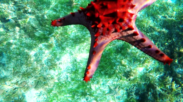 Starfish on the sandy bottom video