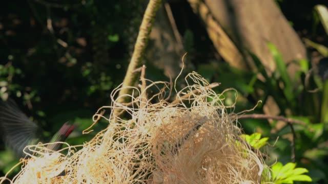 starling birds fighting over nesting materials video