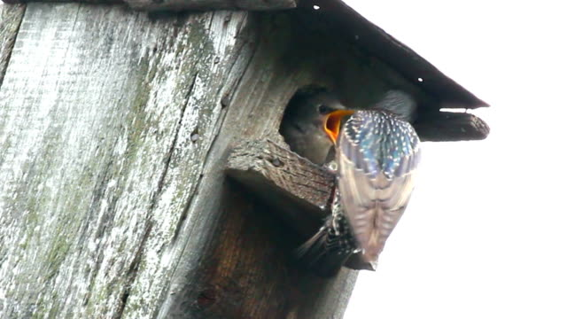 starling feeding in nesting box video