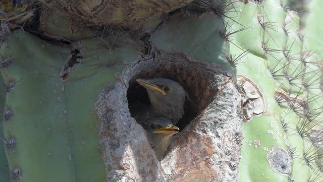 vídeos de stock, filmes e b-roll de starling alimentando seus dois filhotes - américa do norte