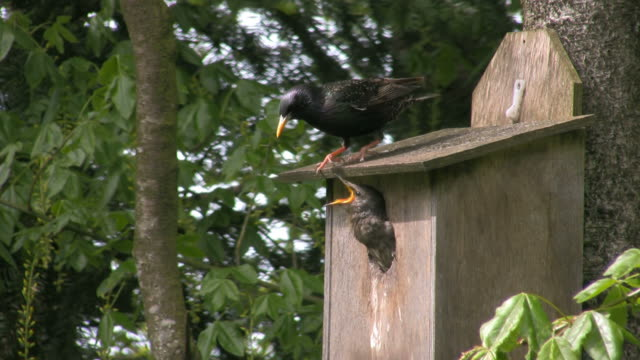 Starling in nestbox video