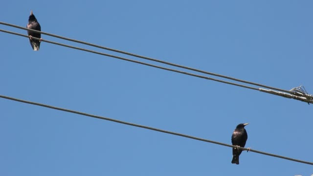 starling sings sitting on electric wire - filo metallico video stock e b–roll