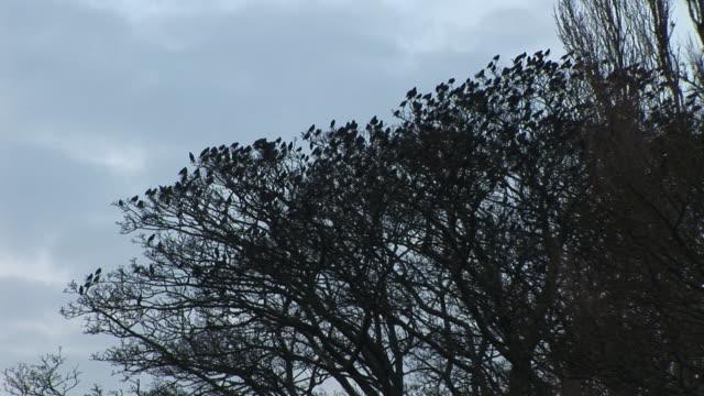 Starlings burst from tree video