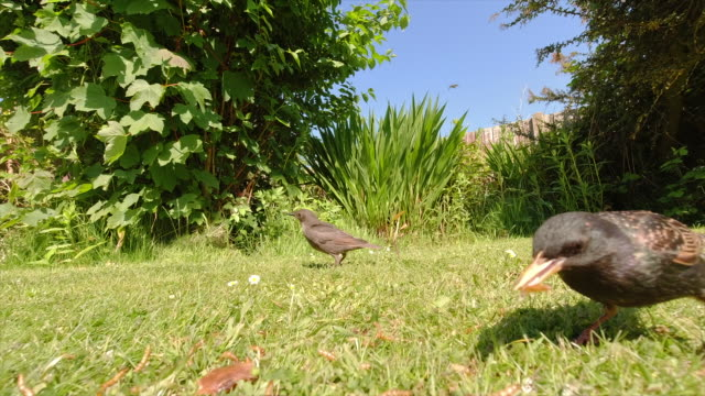 starlings feeding mealworms on a garden lawn on a spring sunny morning. video