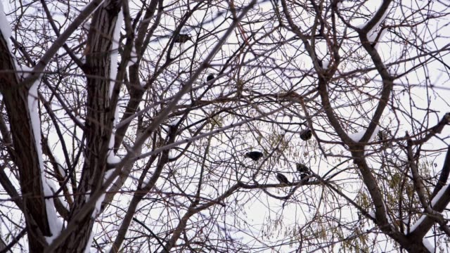 starlings flew in and diligently devour the saphor tree - appollaiarsi video stock e b–roll
