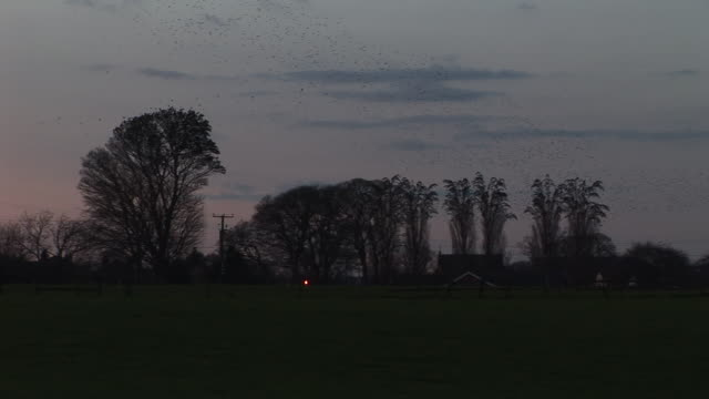 Starlings fly from trees video