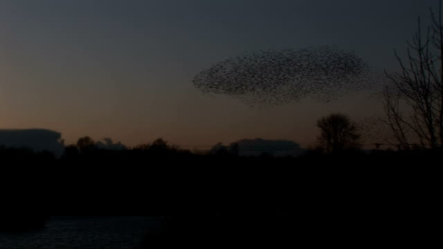 Starlings in evening light large flock of birds video