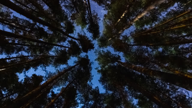 Starry night over a pines forest lighted by the moonlight - Timelapse