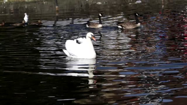 Start of wild goose chase mute swan Canada geese HD video video