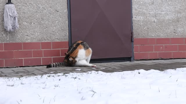 Startle domestic cat jump up on unusual sound. Colourful kitten is disturbed when washing her body. Funny startle. Young domestical pet get scary after a strange sound.