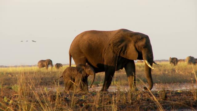 startled elephants - uzun adımlarla yürümek stok videoları ve detay görüntü çekimi