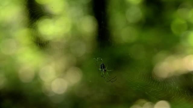 Startled orchard spider video