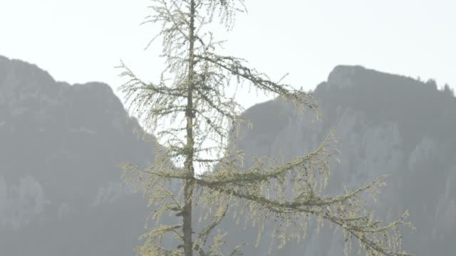 static shot of a sparse larch tree in austria - styria filmów i materiałów b-roll