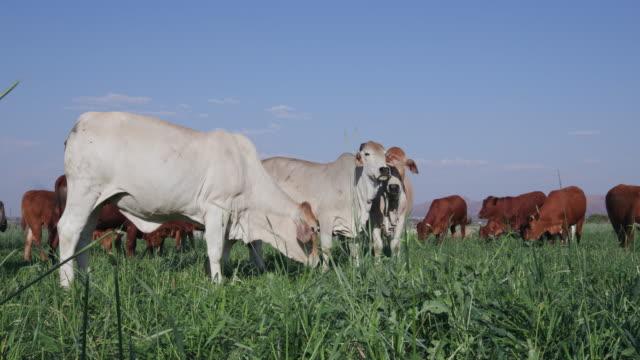 Static shot of free range cattle grazing in a green field video