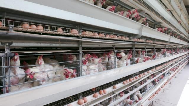 4k statische weitwinkelansicht von verkrampften hühnern in einem großen eierlegen produktionsbetrieb mit eiern, die sich entlang eines förderbandes bewegen - käfig stock-videos und b-roll-filmmaterial