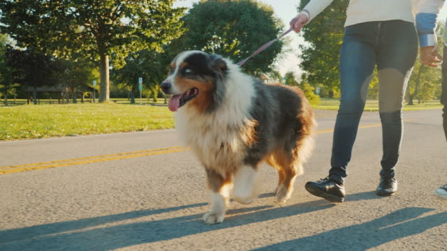 Steadicam low angle video: A family couple strolls in the park with their favorite Australian Shepherd video