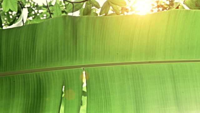 Steadycam: banana leaf in the jungle video