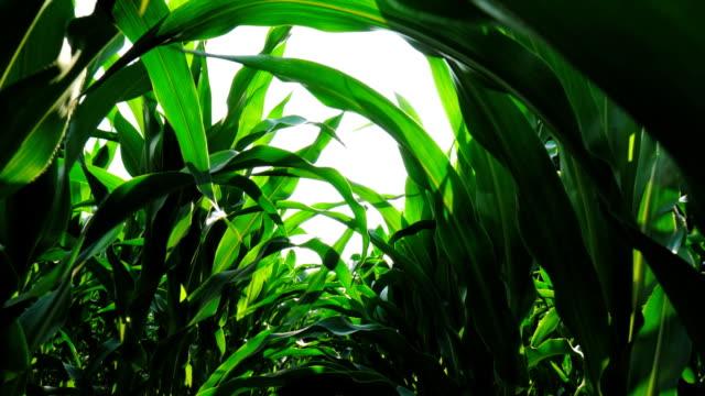 steadycam shot in middle of a cornfield - kukurydza zea filmów i materiałów b-roll