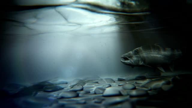 steelhead nuoto controcorrente - trout video stock e b–roll